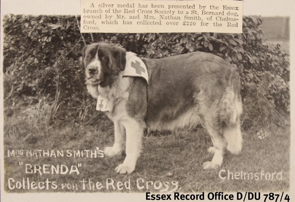 Chelmsford Brenda, the St Bernard dog who collected money for the Red Cross in Chelmsford during the First World War - one of the stories that Jonathan came across in his research (photo from scrapbook of Sir Richard Colvin, D/DU 787/4)